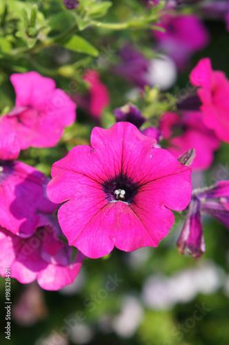Petunia hybrid purple plant or surfinia giant purple flowers - 198328491
