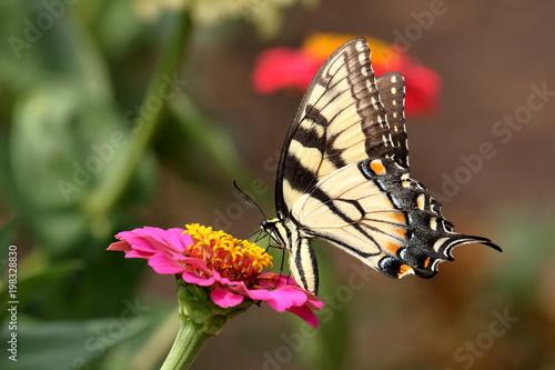 Wschodniej Tiger Swallowtail Butterfly żywi się na kolorowych kwiatów Cynia w ogrodzie.