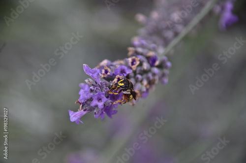 Fotobehang Lavendel lavande et guêpe