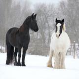 Friesian horse and irish cob in winter