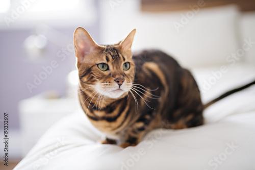 Kot bengalski na kocu z zielonymi oczami