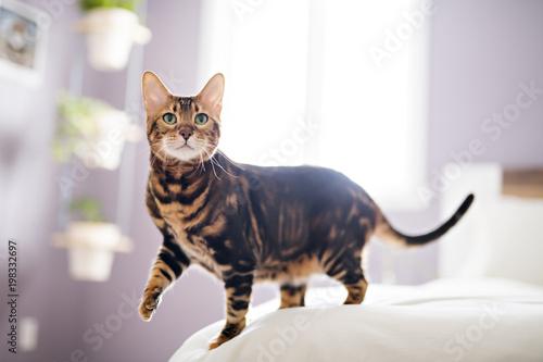 Fotobehang Kat Bengal cat on a blanket with green eyes