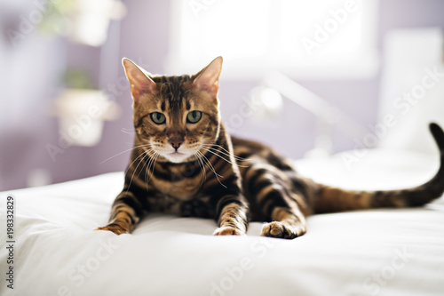 Bengal cat on a blanket with green eyes - 198332829