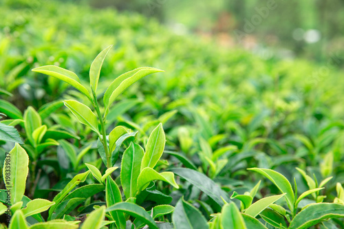 Foto op Plexiglas Lime groen Tea leaf plantation