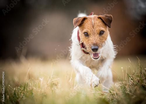 Terrier on the run - 198349436