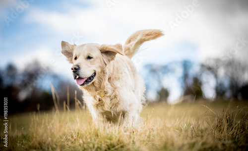fototapeta na ścianę Golden Retriever in the long grass