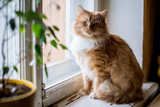Cute funny fluffy red cat sitting on the window