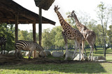 Giraffes and zebras live and eat together