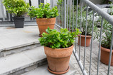 Green plants in pots. Outdoor on the summer patio. Small townhouse perennial summer garden. Vienna, Austria. - 198389840