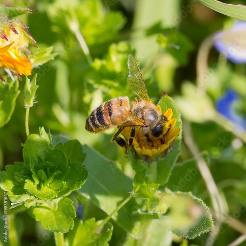 Plexiglas Bee ape in primavera