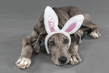 Fototapeta Easter great dane puppy