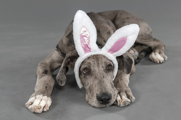 Easter great dane puppy