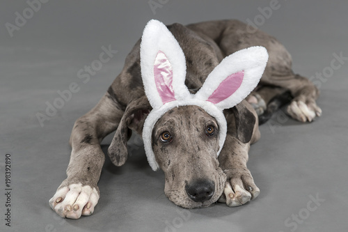 Easter great dane puppy - 198392890