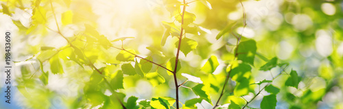 New birch leaves on green spring background. Fresh foliage in the forest in nature with beautiful sunlight - 198433690