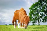 Hübsches Pony weidet auf einer Wiese - 198443222