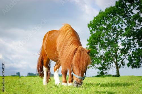 Fotobehang Paarden Hübsches Pony weidet auf einer Wiese