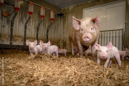 Upośledzona świnia oseska z matką w rozdrobnionej słomy stodole