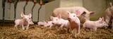 Schweinezucht - Gruppenhaltung von Saugferkeln auf Stroh - 198445258