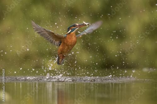 Foto Murales Kingfisher, Alcedo atthis
