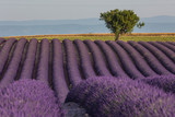 Provence lavender fields in summer