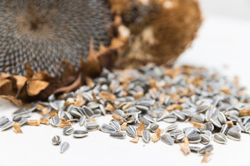Close up of two Freshly harvested and dried organic sunflower heads on white background wooden rustic table with seeds, copy space