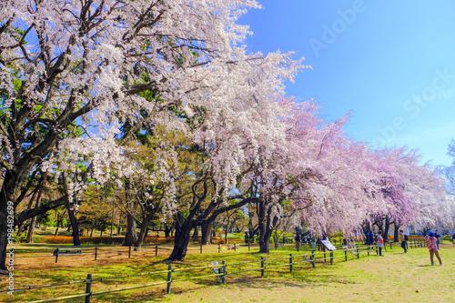 Foto op Plexiglas Pool 敷島公園のしだれ桜