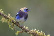 Golden-hooded Tanager - Tangara larvata, beautiful colorful perching bird with golden head from Costa Rica forest.
