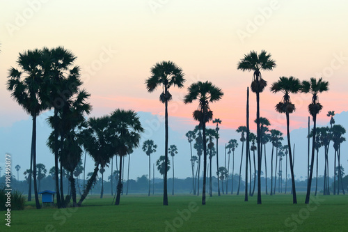 Plexiglas Groen blauw Sugar palm trees in the rice field at morning,countryside of Thailand