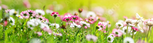 Green field with daisy blossoms. Closeup of pink spring flowers on the ground - 198507456