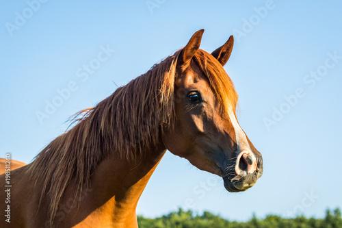 Fotobehang Paarden Arab / Equus ferus caballus