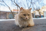 Orange cat with white chest on the spring Moscow street