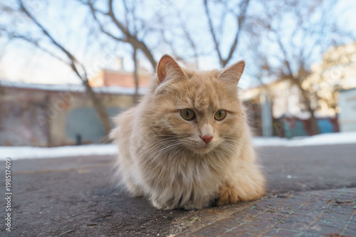 Orange cat with white chest on the spring Moscow street - 198517409