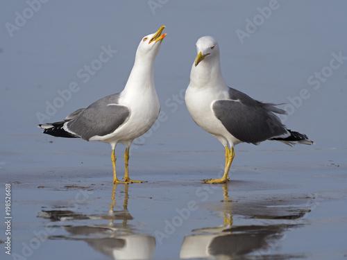 Mewa o żółtych nogach, Larus cachinnans