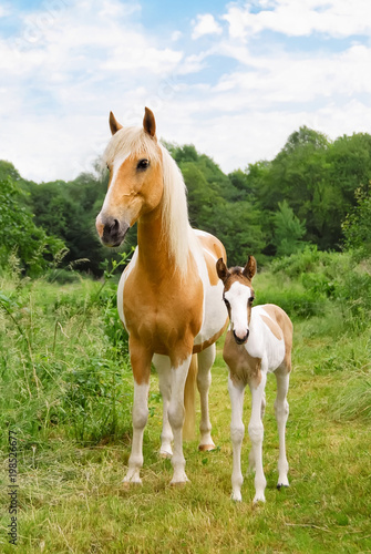 Fotobehang Paarden Pony foal and its mare standing in a meadow, coat color pinto with tobiano patterns
