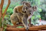 Matka koala z dzieckiem na plecach