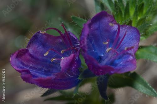 Deurstickers Canarische Eilanden Flowers of purple viper's bugloss (Echium plantagineum). Valverde. El Hierro. Canary Islands. Spain.