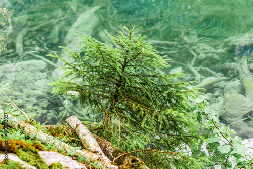 Fotobehang Olijf Small spruce. Spruce on the shore of Lake Obersee, Alps Germany.