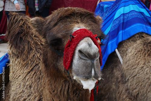 Fototapeta camello sentado en el suelo