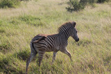 Wild Zebra on South Africa Safari