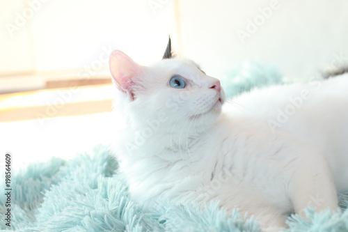 odd eyed white cat lying sideways on a light blue blanket