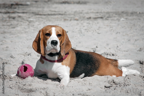 Photo portrait of a beagle dog on a blurred background.