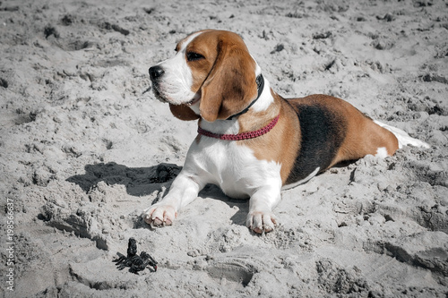 Photo portrait of a beagle dog on a blurred background. - 198566637