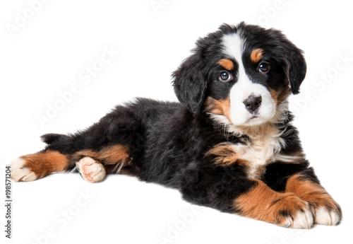 bernese mountain dog puppy isolated on white background - 198571204
