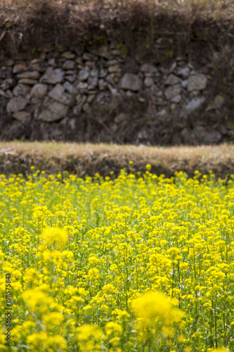 Keuken foto achterwand Geel Beautiful Rape flowers in spring time