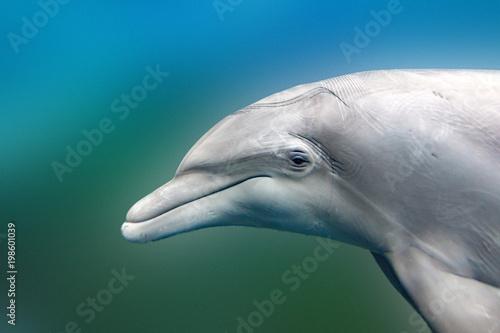 Delfin bliska szczegółów portretu, patrząc na ciebie