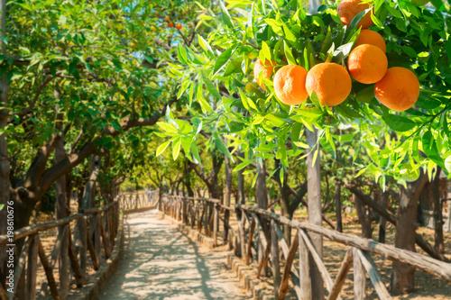 Tangerine tree garden - 198610676