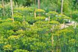 Unripe yellow umbrellas of dill in garden - 198614698