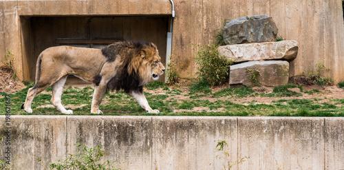 Plexiglas Lion Lion