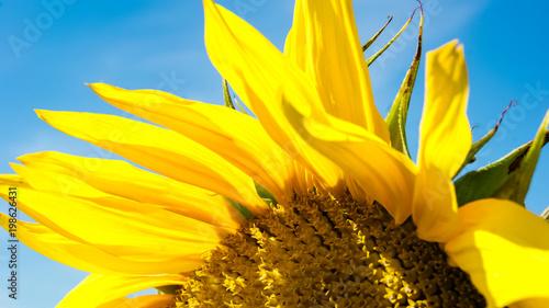 Keuken foto achterwand Geel Close-up of colorful sunflower, sunflower's field, blue sky background