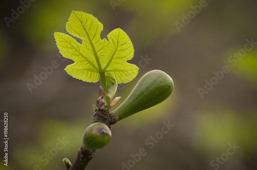 Deurstickers Palermo Tiny green leaf of fig